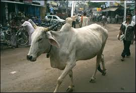 indian sacred cow